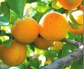 абрикос полезные свойства