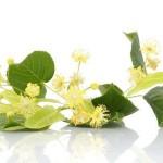 лечебные свойства липового цвета